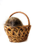 Hedgehog in a wicker basket — Stock Photo