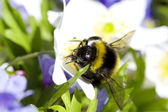 Bumblebee sitting on flowers — Stock Photo