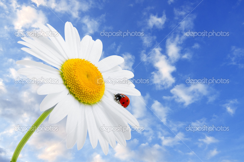 Images of the ladybug is sitting on camomile against the blue sky — Stock Photo #7489180