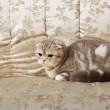 Cat on a gold couch — Stock Photo