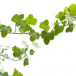 Branch ivy on a white background — Stock Photo