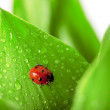 Stock Photo: Ladybird sitting on leaf with drops of water