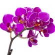 Luxurious orchids — Stockfoto
