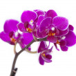 Stock Photo: Luxurious orchids