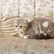 Cat sitting on a beautiful vintage couch — Stok fotoğraf