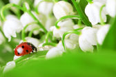 Ladybird sitting on a leaf with drops of water — Stock Photo