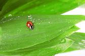 Nyckelpiga sitter på ett blad med droppar av vatten — Stockfoto