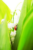 Ladybird, which sits on lily of the valley — Stock Photo
