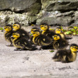 Cute little wild black ducklings on the patio — Stock Photo