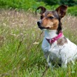 Foto de Stock  : Jack Russel Terrier sitting in High Grass