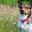 Jack Russel Terrier sitting in High Grass — Stock Photo #7474477