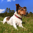 Jack Russell Terrier Lying in the grass — Stock Photo