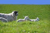 Sheep with Four Lambs in the Green Field in Spring — Stock Photo
