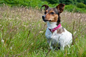 Jack Russel Terrier sitting in High Grass — Stok fotoğraf