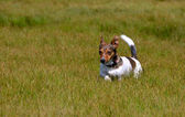 Jack Russell Terrier Running in the Grass Field — Zdjęcie stockowe
