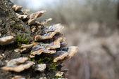 Polyporus mushroom tree on side of tree — Stock Photo