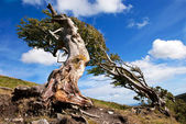 Naked Roots on a Very Old Beech Tree Against Blue Sky — Stock Photo