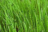 Closeup on Green Grass Sticks in Wetlands — Stock Photo