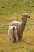 Mother Lama with a Baby on a grass — Stock Photo