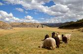 Group of Lamas with Sacsayhuaman ruins — Stock Photo