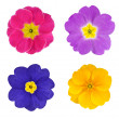 Four Colorful Primroses Flowers Isolated — Stock Photo #7554194