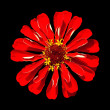 Red Zinnia Elegans Isolated on Black Background — Stock Photo