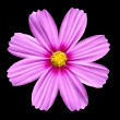 Flowerhead of Pink Cosmea Rose. Cosmos Flower isolated — Stock Photo
