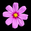 Pink Cosmea Rose. Beautiful Cosmos Flower isolated — Stock Photo