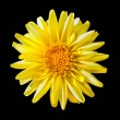 Stock Photo: Yellow Fading DahliFlower Isolated on Black