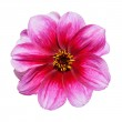 Pink Purple Dahlia Flower Isolated on White — Stock Photo #7554598