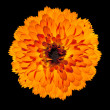 Single Orange Gerbera Flower Isolated on Black Background — Stock Photo