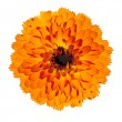 Orange Gerbera Flower Isolated on White Background — Stock Photo