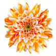 Orange and White Chrysanthemum Flower Isolated on White - Stock Photo