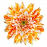 flor de crisântemo laranja e branco isolado no branco — Fotografia Stock  #7554793