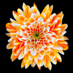 flor de crisântemo laranja e branco isolado no preto — Fotografia Stock  #7554802
