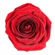 Perfect Red Rose Flowerhead Isolated on White — Stock Photo #7554819