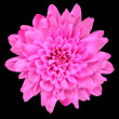 Pink Chrysanthemum Flower Isolated over Black — Stock Photo #7554975