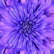 Stock Photo: Blue Chrysanthemum Flower Head Closeup Detail