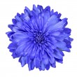 Stock Photo: Deep Blue Chrysanthemum Flower Isolated