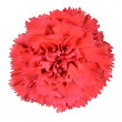 Постер, плакат: Red Carnation Clove Pink Flower Isolated