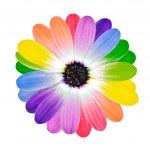 petali colorati sul fiore margherita isolato — Foto Stock