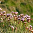 Royalty-Free Stock Photo: Armeria Maritima, Sea Pink or Thrift , Wild pink flowers
