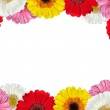 Frame full of Colorful Gerbera Flowers — Stock Photo