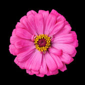 Blossoming Pink Zinnia Elegans Isolated on Black — Stock Photo