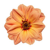 Orange Dahlia Flower Isolated on White Background — Stock Photo