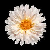 White Dahlia Flower with Yellow Center Isolated — Stock Photo
