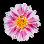 Pink and White Dahlia Flower Isolated on Black Background — Stock Photo
