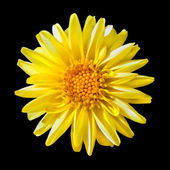 Yellow Fading Dahlia Flower Isolated on Black — Stock Photo