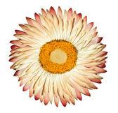 Single White Pink Everlasting Flower Isolated on White Background — Stock Photo