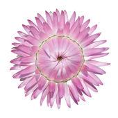 розовый бессмертник песчаный бессмертник прицветниковый, изолированные на белом — Стоковое фото